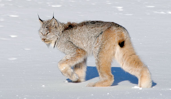 Lynxes – What's Not to Love